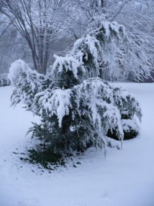 juniper tree sagging under snow load