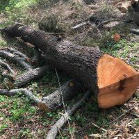 fallen cherry tree